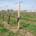 vigne en mars